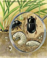 African Black Beetle | Lawn Pests atlas Turf