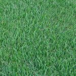 Empire Zoysia Grass Sydney | Atlas Turf