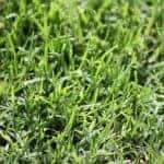 Kikuyu Grass Sydney | Atlas Turf