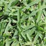 Matilda Buffalo Grass | Atlas Turf Sydney