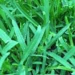 Sapphire Buffalo Grass | Atlas Turf