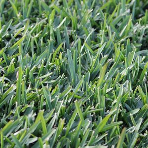 Sir Walter Buffalo Grass Sydney | Atlas Turf