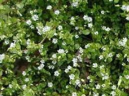 Chickweed Lawn Weed | Atlas Turf