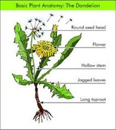 Dandelion Lawn Weeds | Atlas Turf