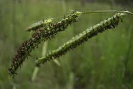 Paspalum Grass | Lawn Weeds Atlas Turf