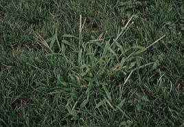 Summergrass | Lawn Weeds Atlas Turf