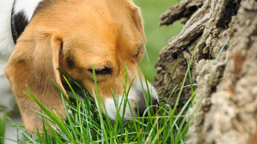 What does it mean when dogs eat grass