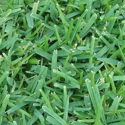 Palmetto turf properties in drought conditions