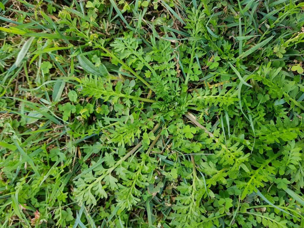 Bindi (soliva sessilis) is a lawn weed that came from South America