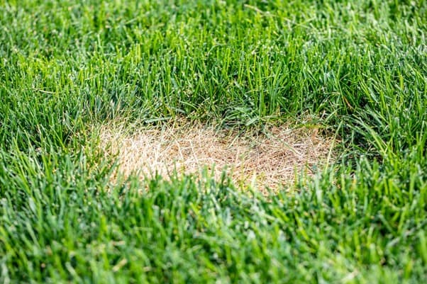 How to Treat Lawn Grubs