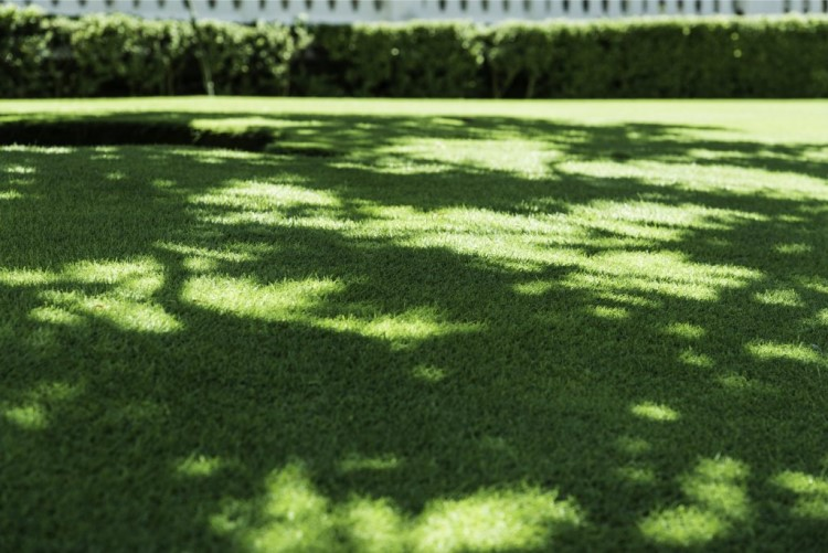 Sapphire Buffalo grass also demonstrates exceptionally high shade tolerance